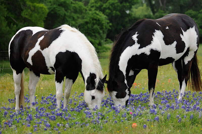Horses eating wild flowers