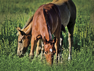 horses turned out grazing