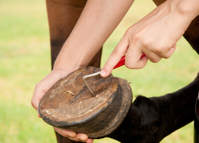 picking out horse hoof