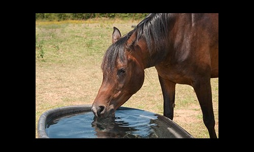 horse drinking from trough